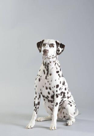 Dog, dalmatian, studio portrait photography Stok Fotoğraf