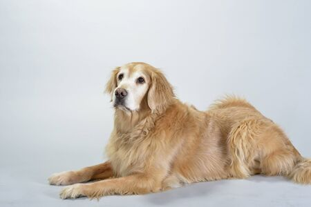 companion: Dog, golden retriever and black labrador, studio portrait photography  Family pet   companion  Stock Photo