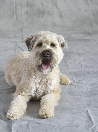 Dog, soft coated wheaten terrier,  Sandy   Family pet   Studio Portrait
