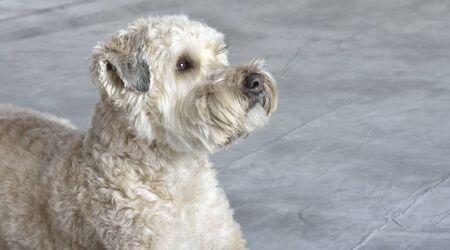 개, 부드러운 코팅 된 wheaten 테리어, 샌디 가족 애완 동물 스튜디오 초상화 스톡 콘텐츠