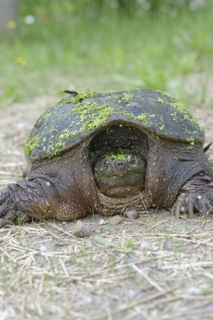 Snapping Turtle looking for nesting site