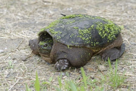snapping turtle: Snapping Turtle looking for nesting site
