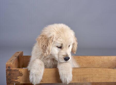 golden retriever puppy: Golden Retriever puppy  eight weeks old