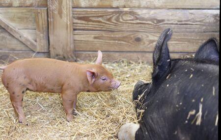 Knorretje en moeder Sow in stal Stockfoto - 60914485