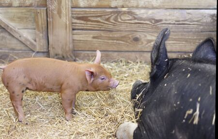 sow: Piglet and Mother Sow in stall
