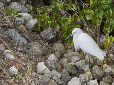 Snowy Egret (Egretta thula) Ding Darling National WildlifePreserve