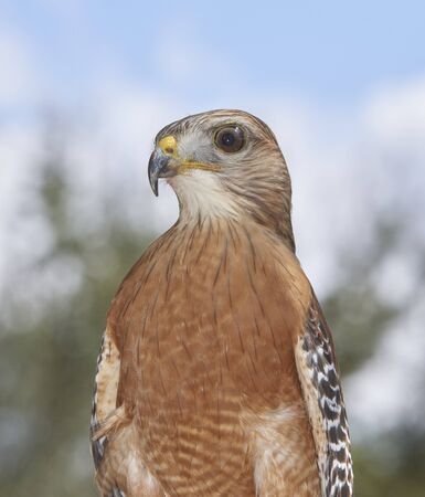 Re-shouldered Hawk on display at Burrowing Owl Festival at Cape Coral, Florida