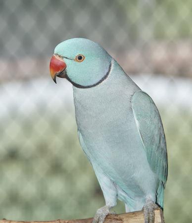 Indian Ringneck Parakeet at Sarasota Jungle Garden Stock Photo