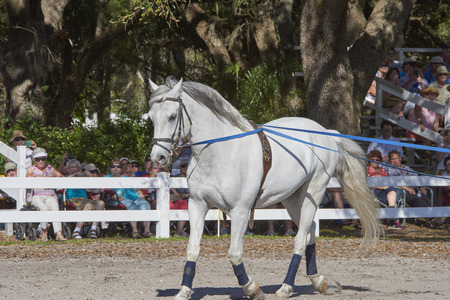 lipizzan horse: Lipizzan horses in training at Florida Farm Editorial