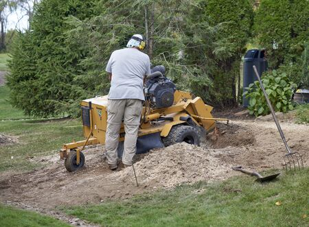 Tree stump grinding after pine tree was cut down