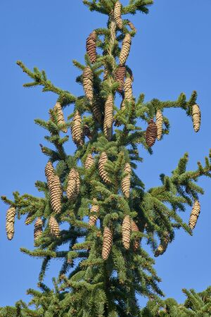 Pine Cones from Norway Spruce and Red Pine Trees