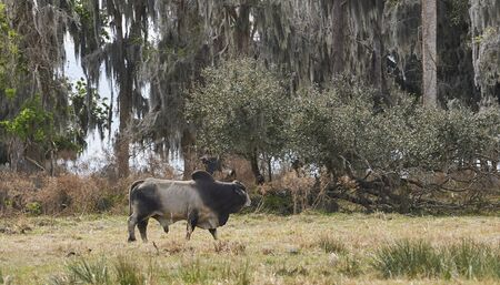 Brahaman Bull walking in open forest