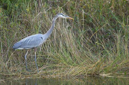 Great Blue Heron Everglades National Park Florida USA