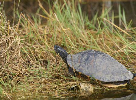 Southern Painted Turtle Everglades National Park Florida USA Stock fotó