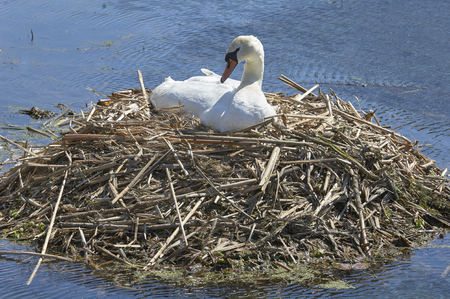 Finger Lakes, New York. Mute Swan nesting on large twig nest