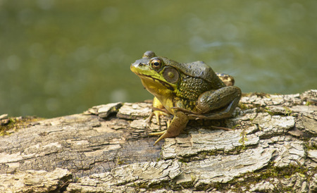 American Bull Frog (Lithobates catesbeianus) on rotting tree stump in swamp