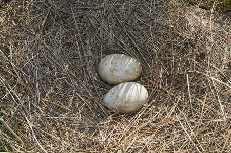 Two canada goose eggs in nest prior to hatching