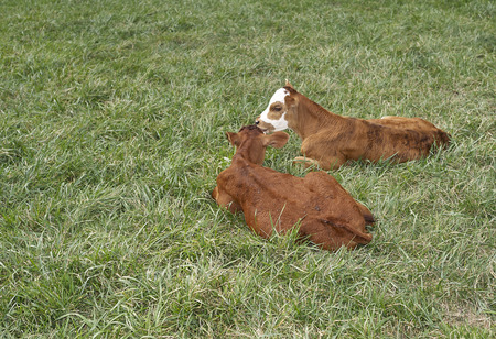 two calves resting in pasture
