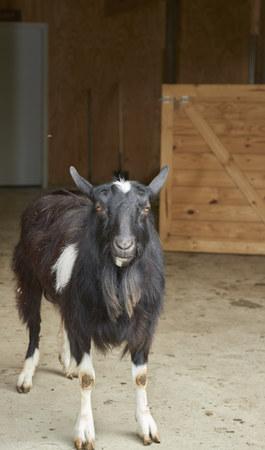 goat standing in barn next to stall door