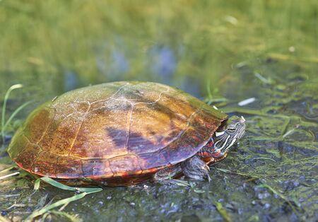 painted turtle sunning on wet grass area