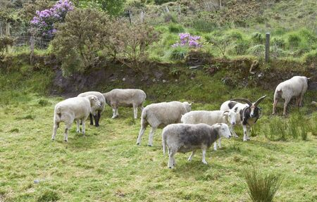 Ireland Trip (May 19-29, 2019) Irish Sheep herding demonstration with Shetland Sheep dogs. herd of Irish Sheep
