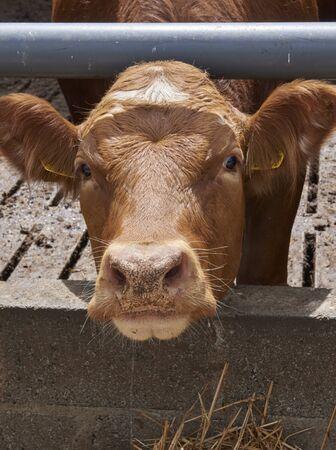 Trip to Ireland (May 19-29, 2019) Kilkenny Farmhouse Kilkenny, Ireland. cow feeding 스톡 콘텐츠