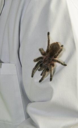 Tarantula (theraphosidae) on display at camping convention in Austin, Texas