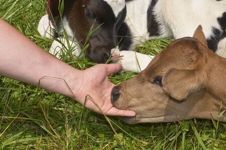 calf nibbling on fingers of adult person Stock Photo