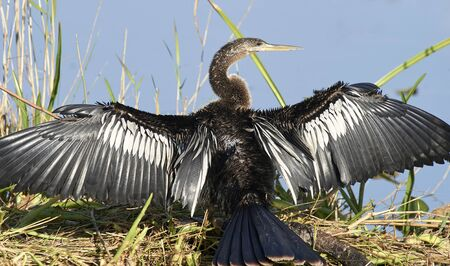 Anhinga (bird) drying wings after diving