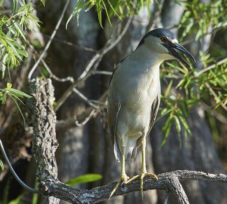 Black-crowned Night Heron perching