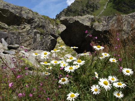 pflanzen: Closeup Camille flower in alpine Stock Photo