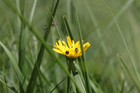 hieracium: Stock Photo - Yellow flower Hieracium alpinum L.. Fly on the flower Stock Photo