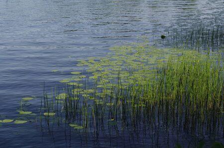 plantas acuaticas: plantas de agua, Flor de loto en el estanque