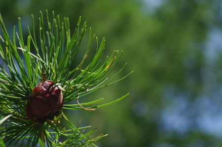 Stock Photo - Pine Cones, branch with cone photo