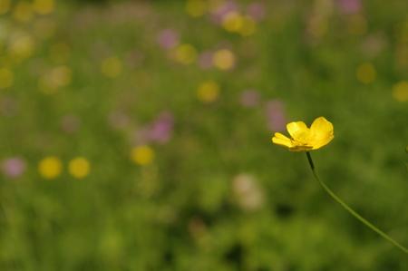 stock photo   tulip: Stock Photo - yellow spring wild flowers macro close up