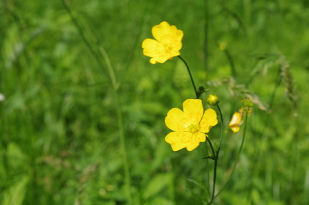 Stock Photo - yellow spring wild flowers macro close up photo