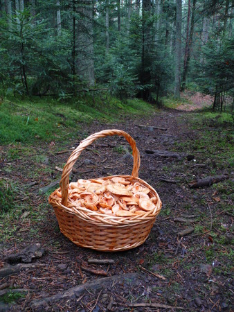 A basket full of mushrooms lactarius deterrimus on a forest road, Germany Stock Photo