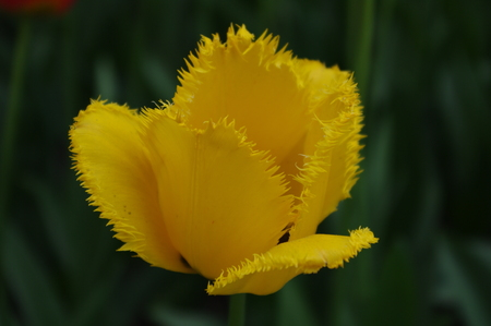 stock photo   tulip: Stock Photo - Close up of a yellow  tulip