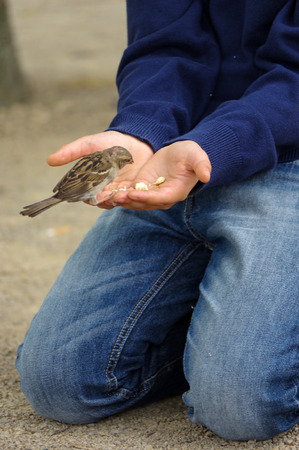outstretched hand: a sparrow bird eating bread from outstretched hand