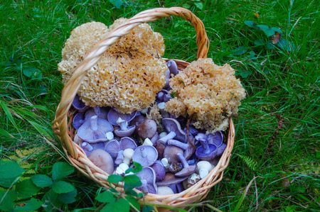 fresh picked edible forest mushrooms in a basket