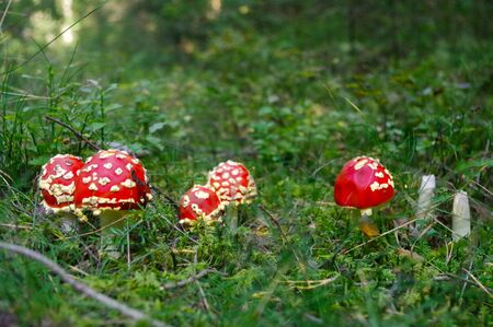 fly agaric: Fly agaric toadstool, Amanita muscaria family in tge forest Stock Photo