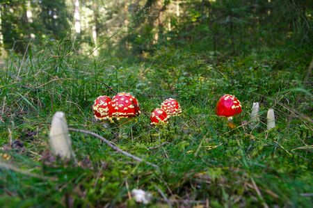 amanita: Fly agaric toadstool, Amanita muscaria family in tge forest Stock Photo