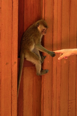 animal finger: a young macaca monkey hanging on a wooden wall and holds finger or part of hand. Contact betwen animal and human.