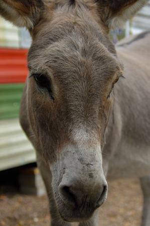 potrait: a donkey potrait closeup from the frontside Stock Photo