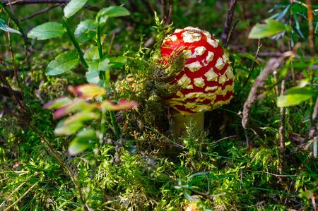 Fly agaric toadstool, Amanita muscaria family in tge forest Stock Photo