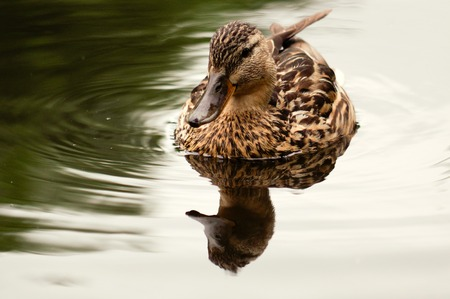 One brown duck swim in pond. Still float action. Water with dark shadow and brown reflection.