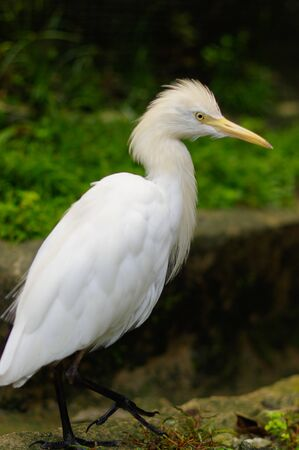 Cattle egret, ibis bubulcus wandering around at a park in Kuala Lumpur Birdpark, Malaysia