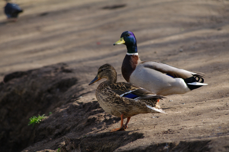Two duckswalking near the pond in the park