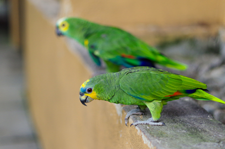 two Eclectus green Parrots standing on the stone railing