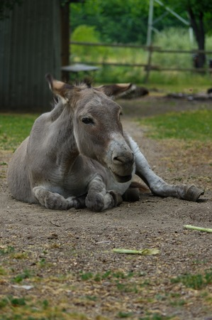 a grey Donkey lying on the ground